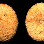Echinodermi rinvenuti nella parete sabbiosa a N di Tarquinia: probabilmente appartengono alla famiglia Echinocyamidae