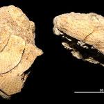 Echinodermi rinvenuti nella parete sabbiosa a N di Tarquinia: frammenti di probabili Clypeaster.