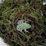 Grünfrosch im Eimer