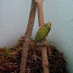 junger Grünfrosch