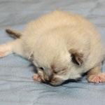 Katze, seal-point white