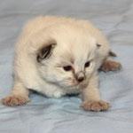 Katze, seal-tabby-point