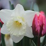 Vrolijk Voorjaar Tulp Narcis