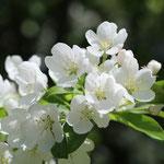 Volop Voorjaar ansichtkaart Witte Bloesem