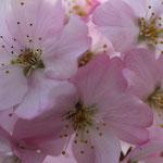 Volop Voorjaar ansichtkaart roze Bloesem