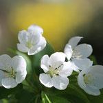 Losse dubbele kaart Bloesem 5 witte bloempjes