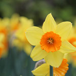 Vrolijk Voorjaar gele Narcissen