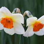 Volop Voorjaar ansichtkaart 2 Narcissen
