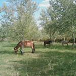 16.08.2009: Pferde von Pilgern rasten auf einer wunderschönen Wiese