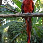 Solche Aras haben wir in Costa Rica in der Natur gesehen...