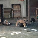 Eine Horde junger Hunde.