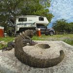 Leguane waren immer und überall auf dem Campingplatz zu sehen. Der Abwasserkanal bietet offenbar ein sicheres Zuhause.