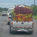 Auf dem Weg nach Panama City sahen wir jede Menge Früchtetransporte.