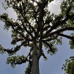 Die Ceiba ist der Nationalbaum Guatemalas.