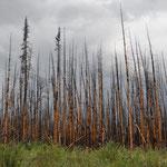 Ein häufiges Bild: Überreste eines Waldbrandes.