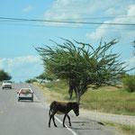 Esel, Schweine, Hühner, Hunde. Tot oder lebendig - keine Seltenheit auf den Strassen.