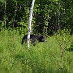 Keine Elche weit und breit, dafür Schwarzbären, die leider bald das Weite suchten.