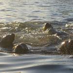 Seelöwen jagen in Gruppen nach den Fischschwärmen.