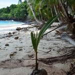 Hier wächst eine neue Palme heran.