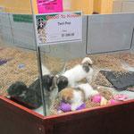 Auch etliche Hunderassen werden in der Tierhandlung verkauft - für uns ein sehr unübliches Bild.