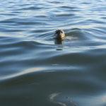 Immer wieder begleiteten uns die neugierigen Harbor Seals.