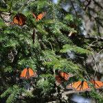 Die Luft erwärmt sich, langsam bewegen sich die Schmetterlinge.