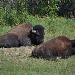 Zwei vollgefressene Bisons ganz in der Nähe des Highways.