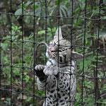 Der verspielte Rhaburn, einer unserer Lieblinge im Zoo.