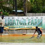 """Der """"Alligatoren-Bändiger"""" holt sich ein Tier aus dem Becken."""