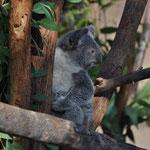 Angi's Favoriten waren die Koalabären. Ein bisschen im Baum rumhängen...