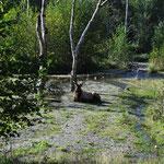 Der Elk beobachtete uns zwar, war aber ganz friedlich.