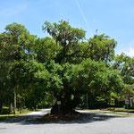 Dieser grosse und alte Baum, Lovers' Oak genannt, steht in Brunswick.