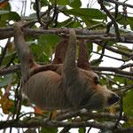 Das Faultier mit seinem Baby im Baum direkt neben der Bar.