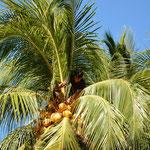 Flink wie ein Wiesel ging's auf die Palme um Kokosnüsse runterzuschneiden.
