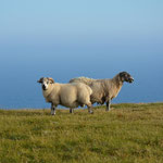 Überall waren Schafe...