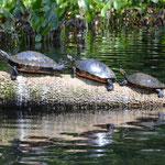 Schildkröten-Parade