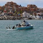 ...die Seehunde auch, denn sie werden (leider) durch die Passagiere mit Fisch angelockt und gefüttert.