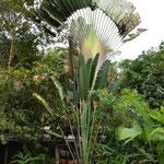 Der Baum der Reisenden (Ravenala madagascariensis). Im Blattgrund sammelt sich Regenwasser, das durch Anstechen des Blattgrundes gewonnen werden kann, was dem Baum als Wasserspender in der Not seinen Namen gegeben hat.