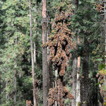In grossen Trauben hängen die Monarchfalter in den Bäumen.