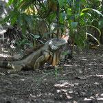 Ein grosser Leguan, inmitten der Stadt.