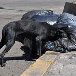 Willkommene Mittagsverpflegung für die Strassenhunde.