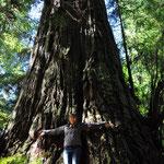 Hier ein anderer Mammutbaum...