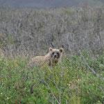 Grizzlybären-Baby
