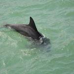 Fast zum berühren nah ziehen die Delfine ihre Kreise und jagen Fische.