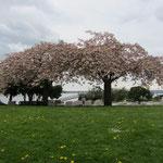 West Vancouver - auch hier ist der Frühling angekomen...