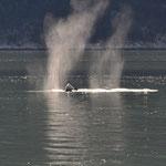 Zwei oder drei Wale machten in Hafennähe ihre Runden.