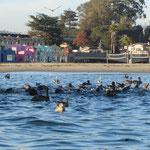 Die Pelikane jagen die Fische und stürzen sich dazu aus einigen Metern Höhe ins Wasser.