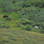 Bär-Wolf-Duell - leider ca. 300 Meter weit entfernt und aus dem Bus ohne Stativ fotografiert