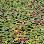 Es herbstet im Teich :-)