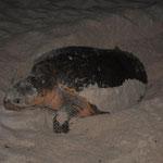 Zuerst buddelt die Schildkröte ein Loch, ungefähr 30 - 50 cm tief in den Sand.